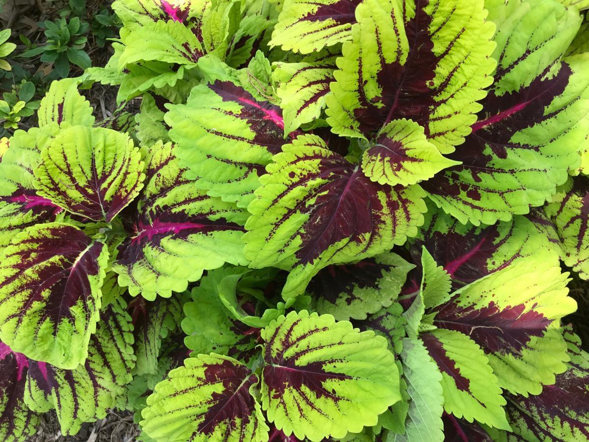 Barry Fugatt New Coleus Plants Bred For Bright Summer Sunshine