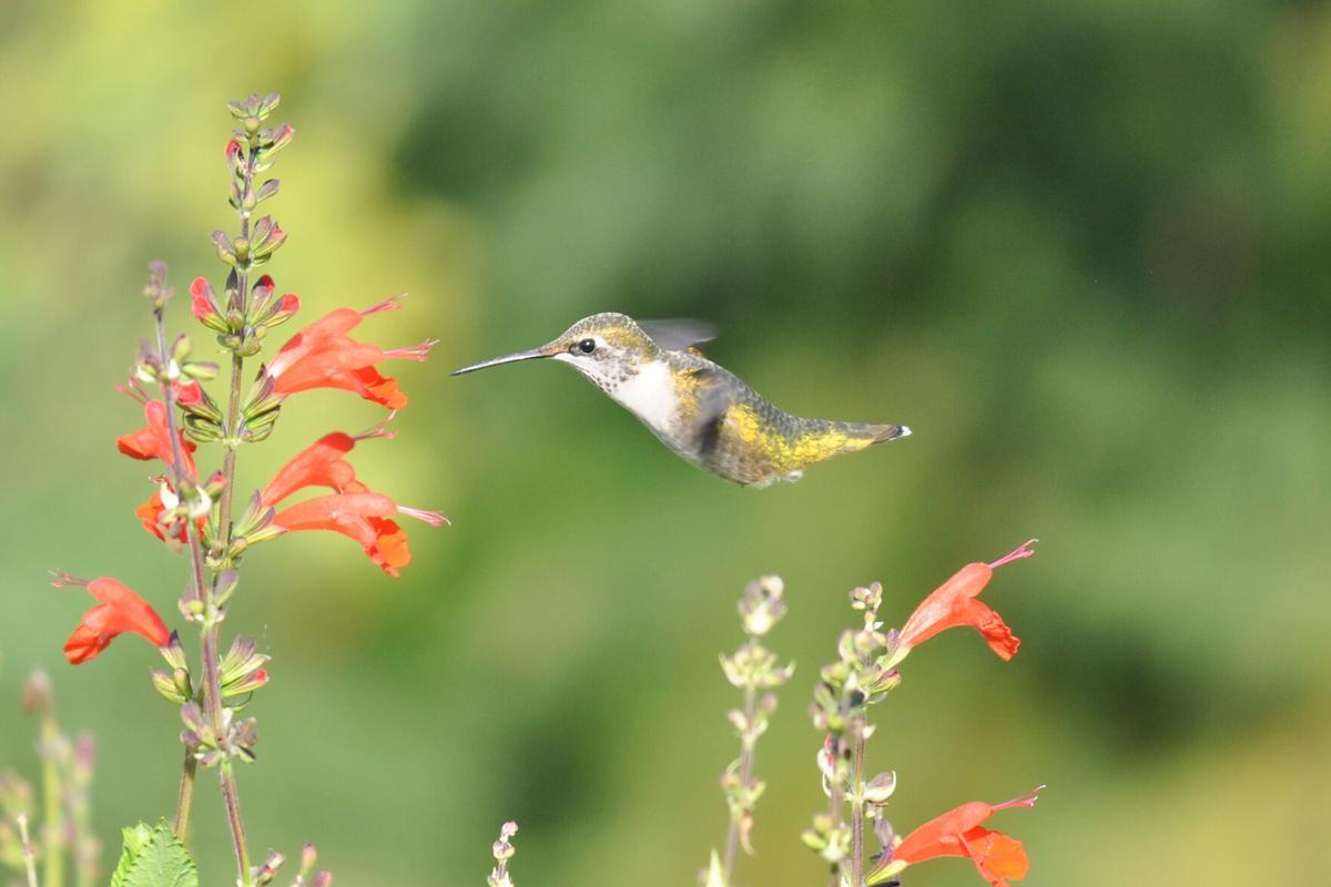 Ruby-throated Hummingbird, Female (003a).JPG