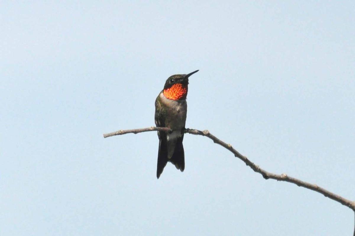 Ruby-throated Hummingbird, Male (d).jpg