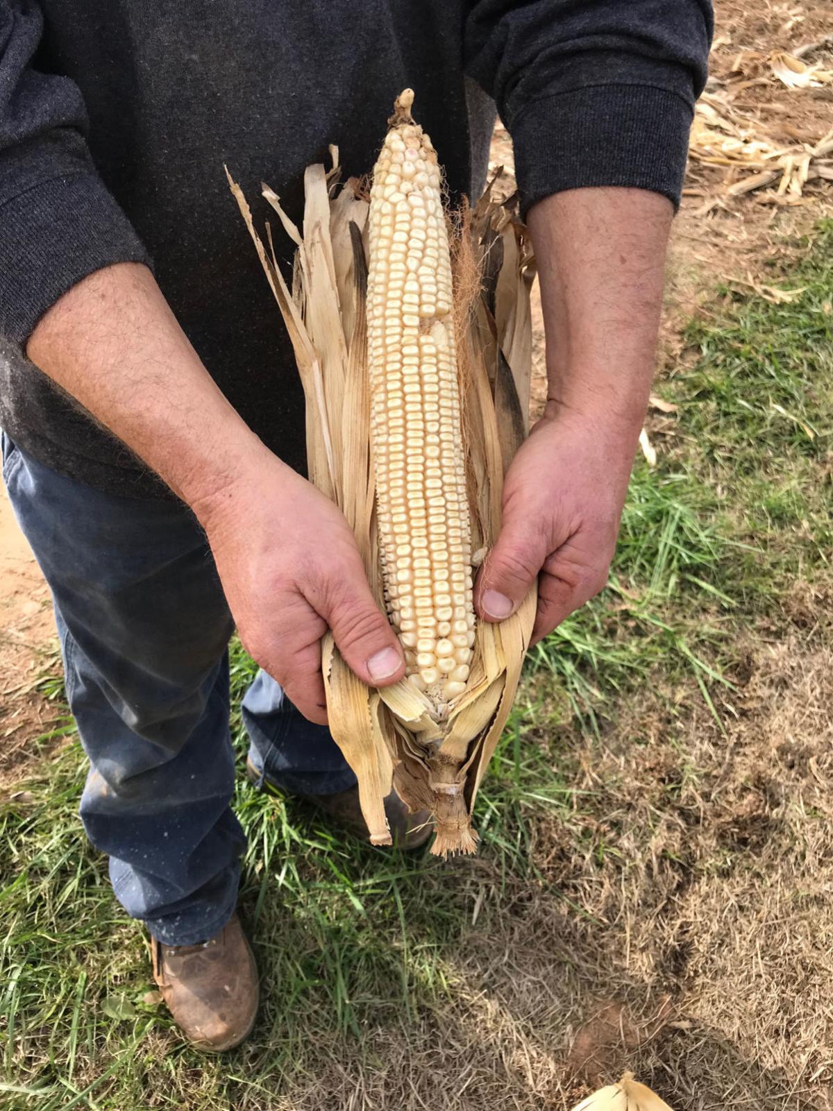 pic of corn