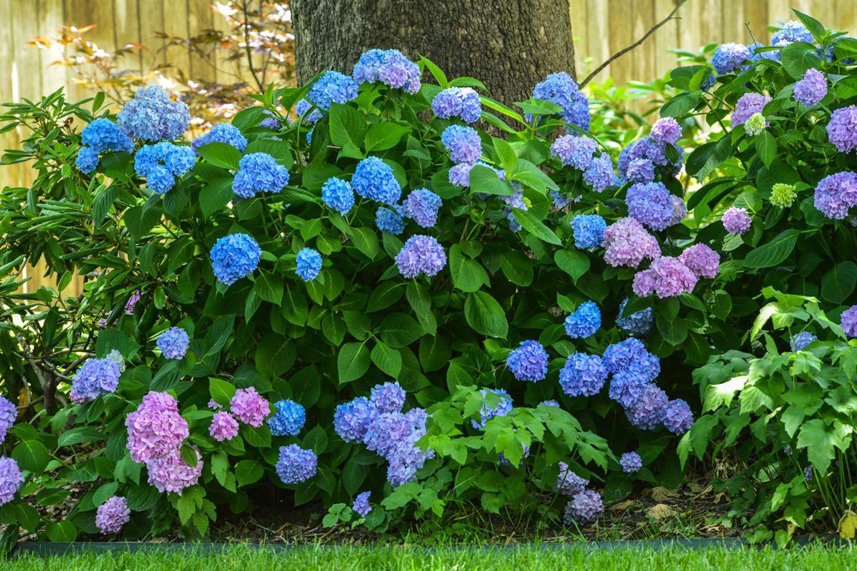 Master Gardener Know When To Prune Hydrangeas Home Garden