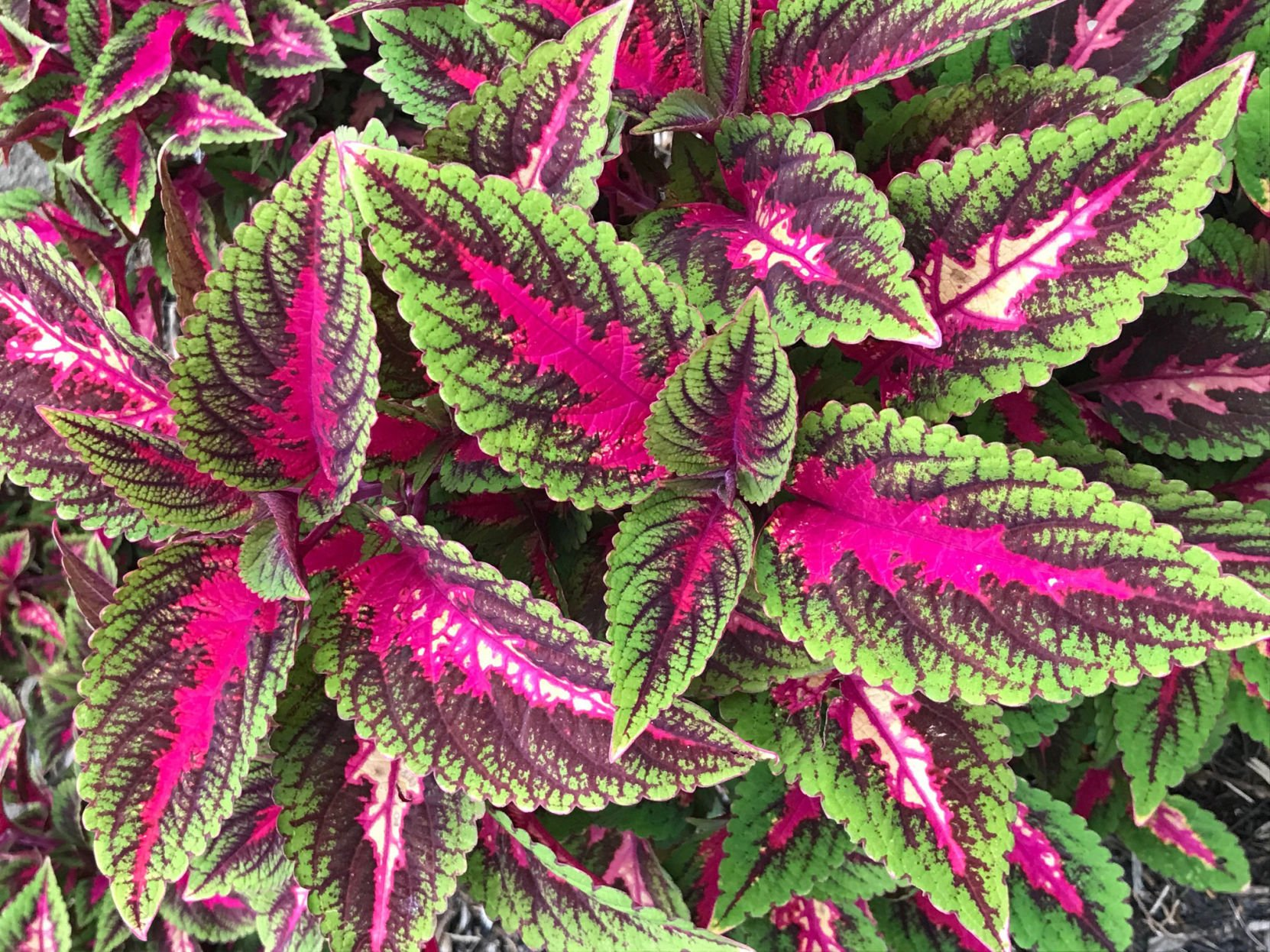 Barry Fugatt: New Coleus Plants Bred For Bright Summer Sunshine