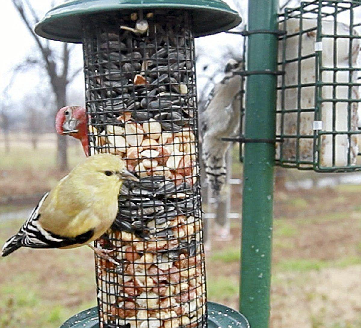 state national counts focus on backyard birds outdoors bird