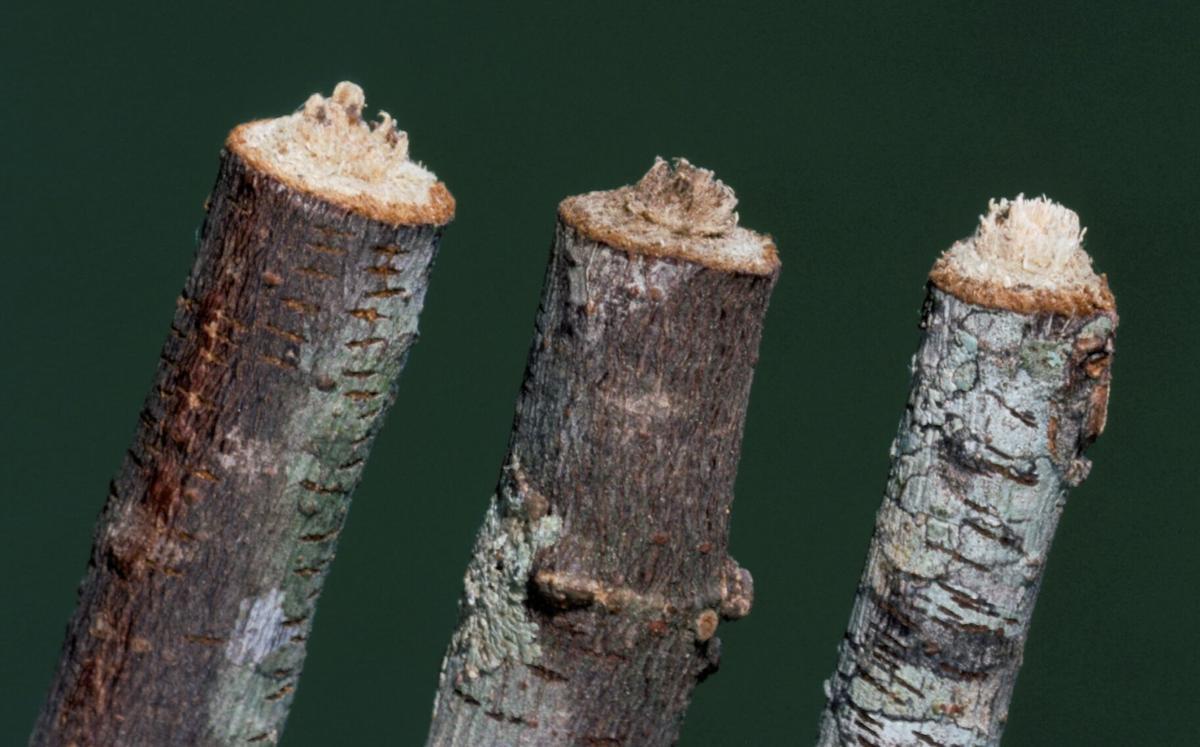 twig girdler 2