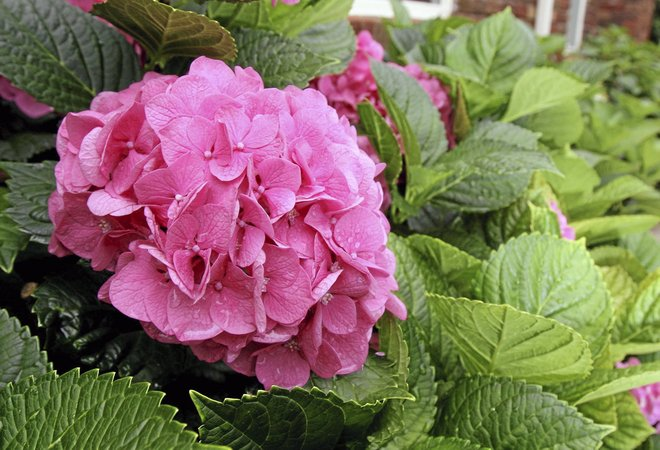 Soil Ph Changes Hydrangea Color Entertainment Tulsaworld Com