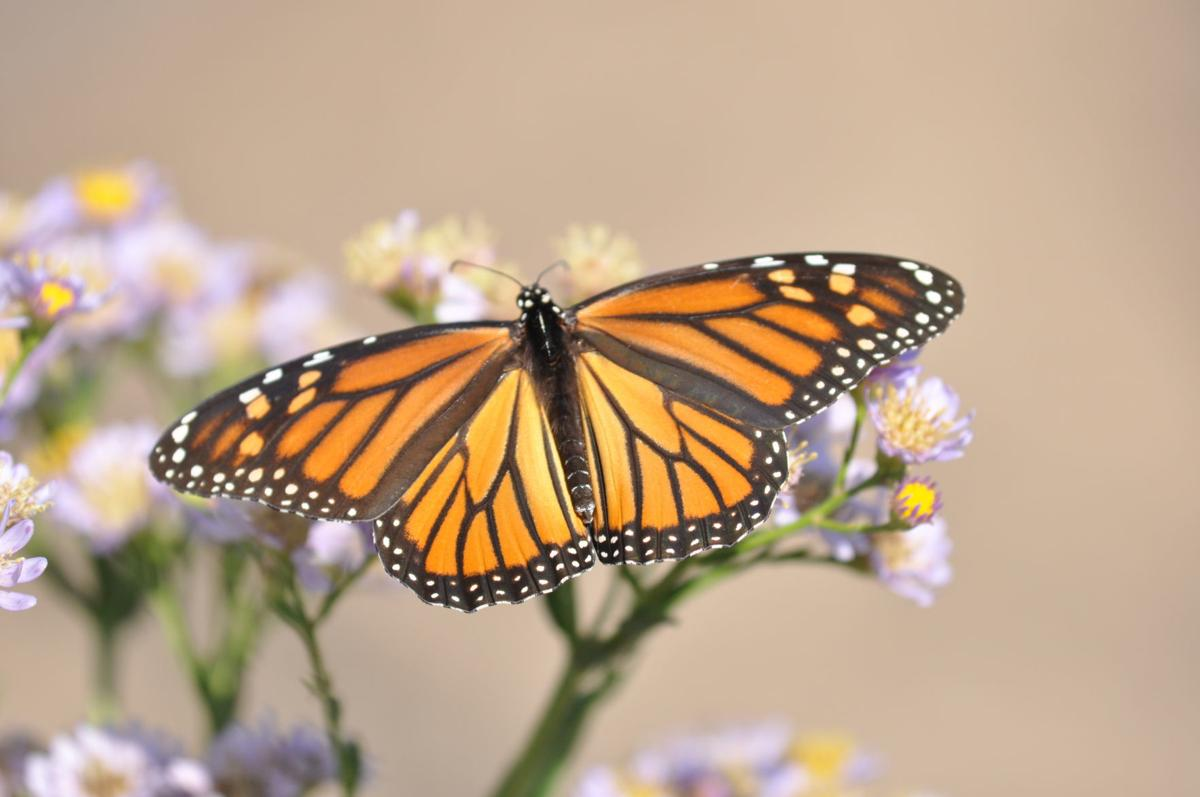 Monarch on Aster (002).JPG