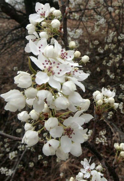 White flowering trees abound outdoors tulsaworld white flowering trees abound mightylinksfo
