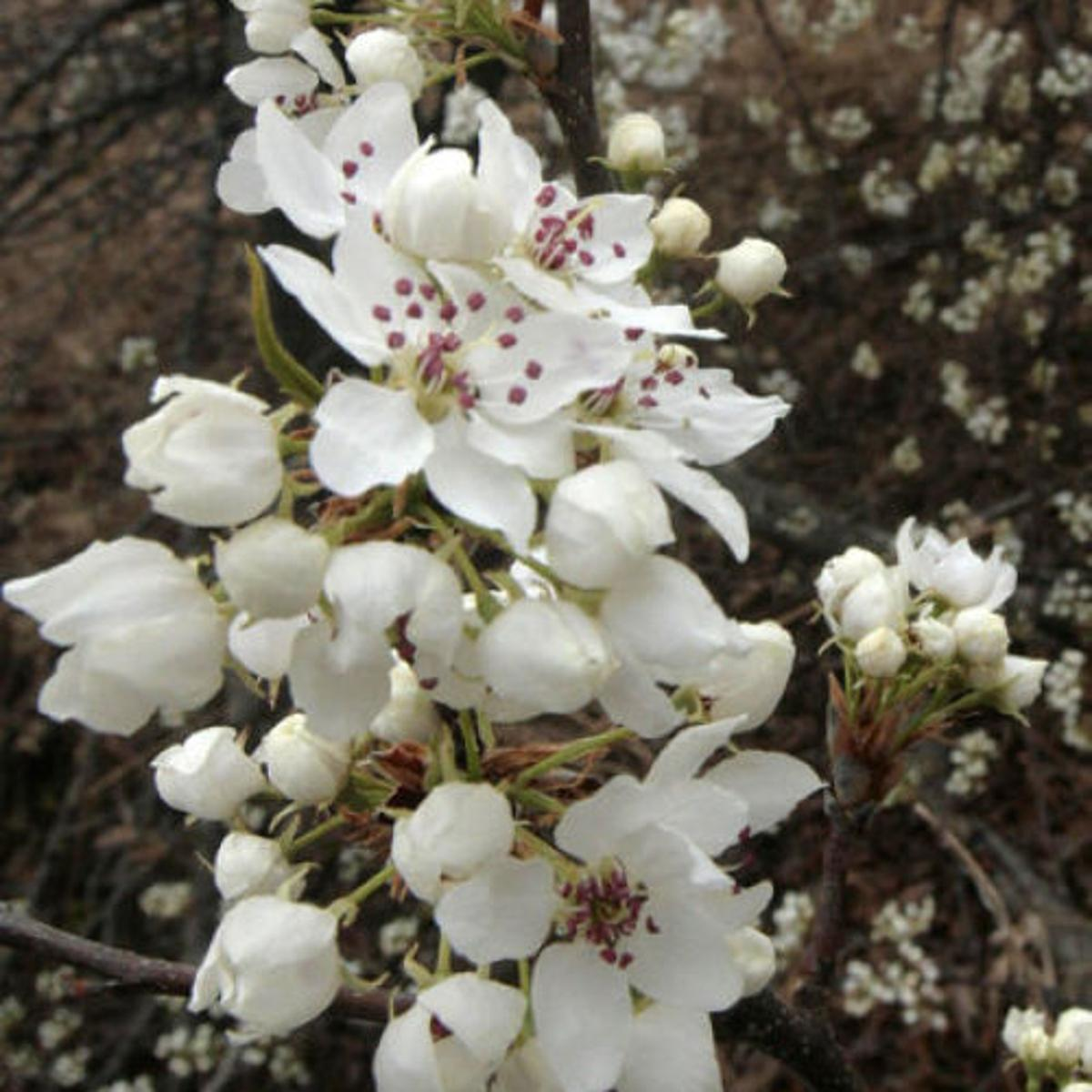 White Flowering Trees Abound Outdoors Tulsaworld Com