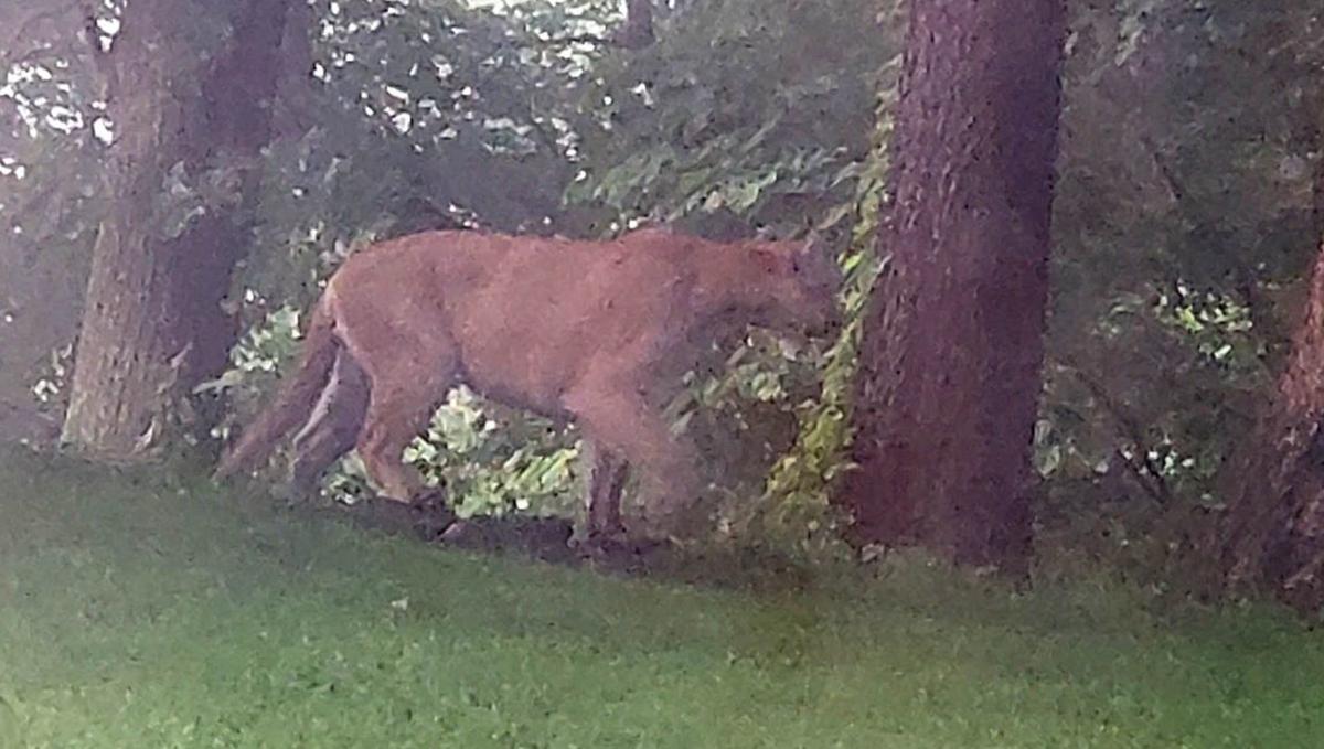 Mayes mountain lion