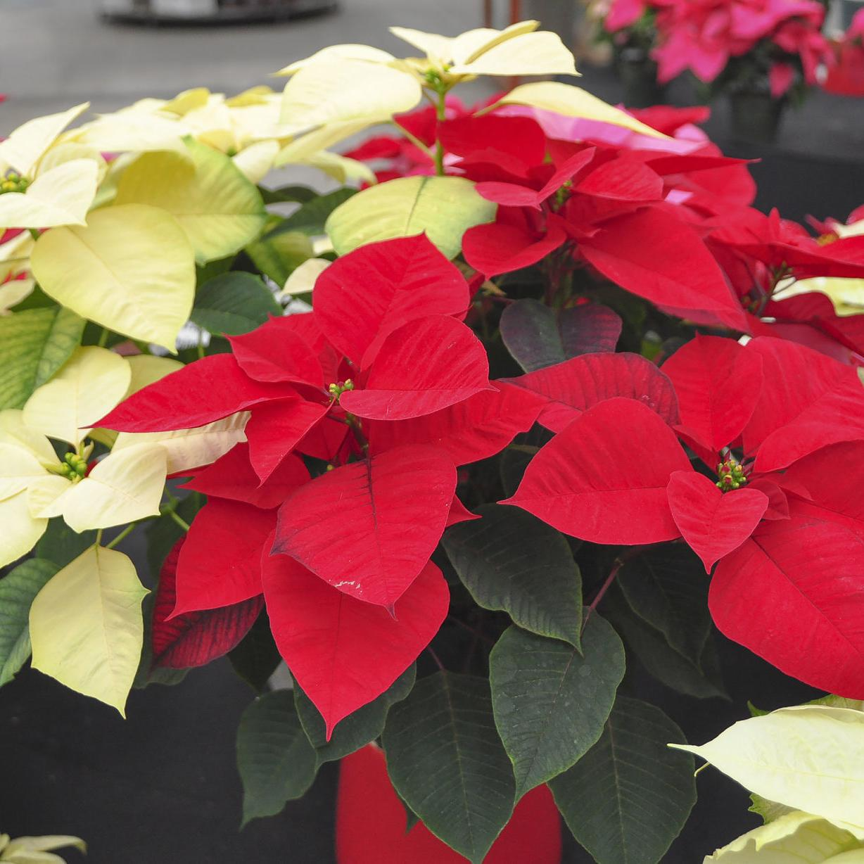 Master Gardener Keeping Poinsettia Alive Year After Year Is