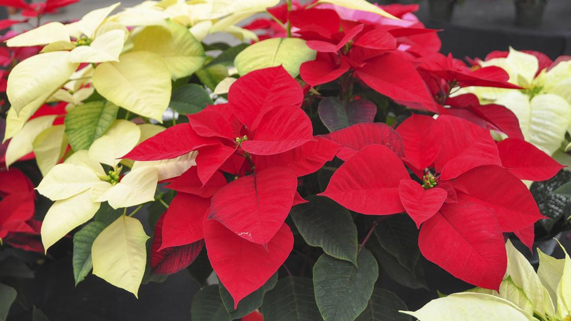 Master Gardener: Keeping poinsettia alive year after year is challenge |  Home & Garden | tulsaworld.com