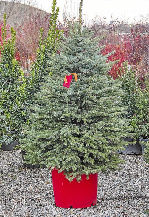 Burning Of Christmas Trees Tulsa 2020 Master Gardener: Picking out the best Christmas tree | Home