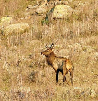 Elk Photo from Wichita Mountains