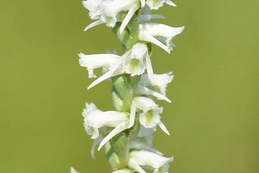 Nature Note Fall Prairie Orchids Starting To Bloom News Tulsaworld Com