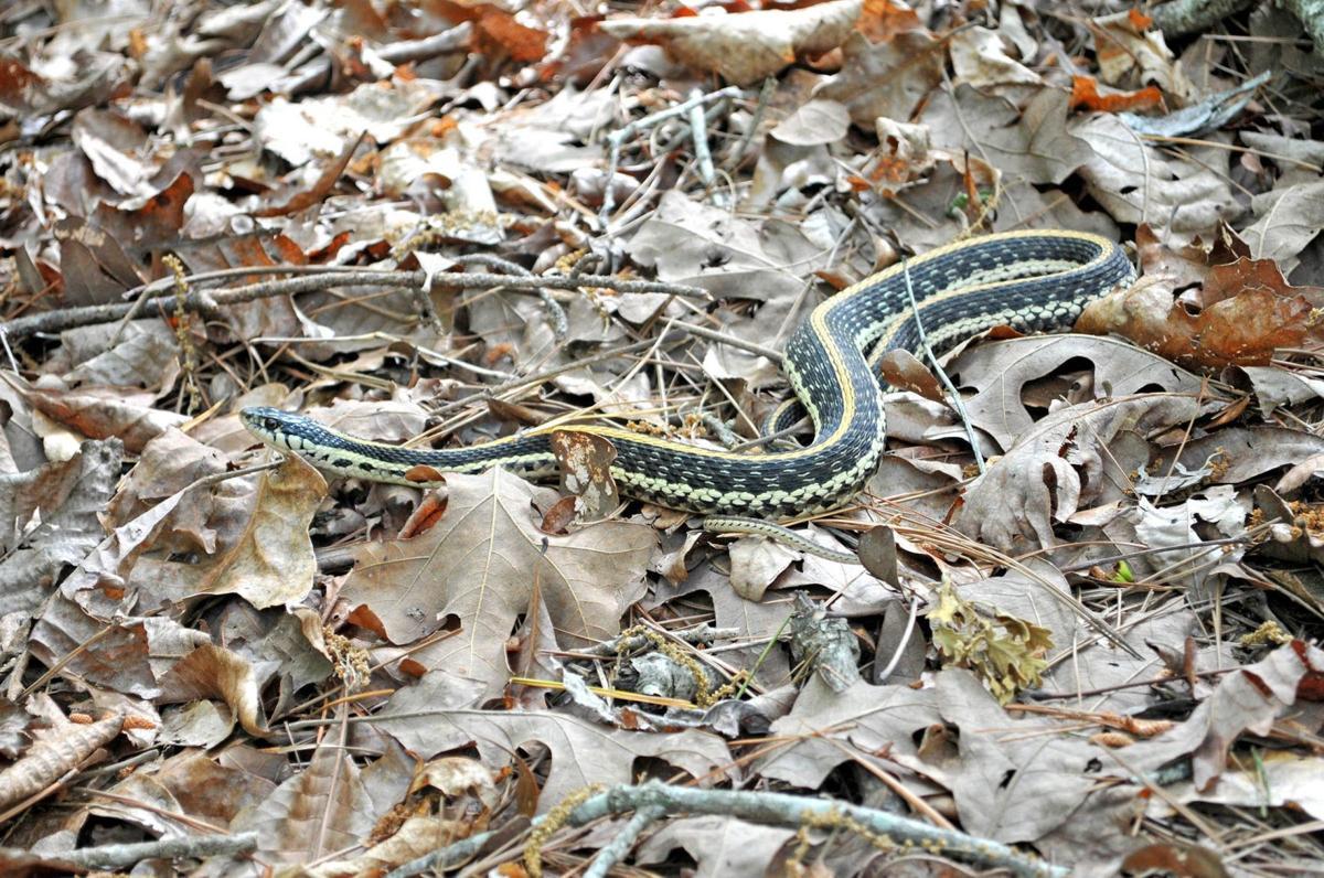 Gallery: Watch where you walk, it's snake season | Photo