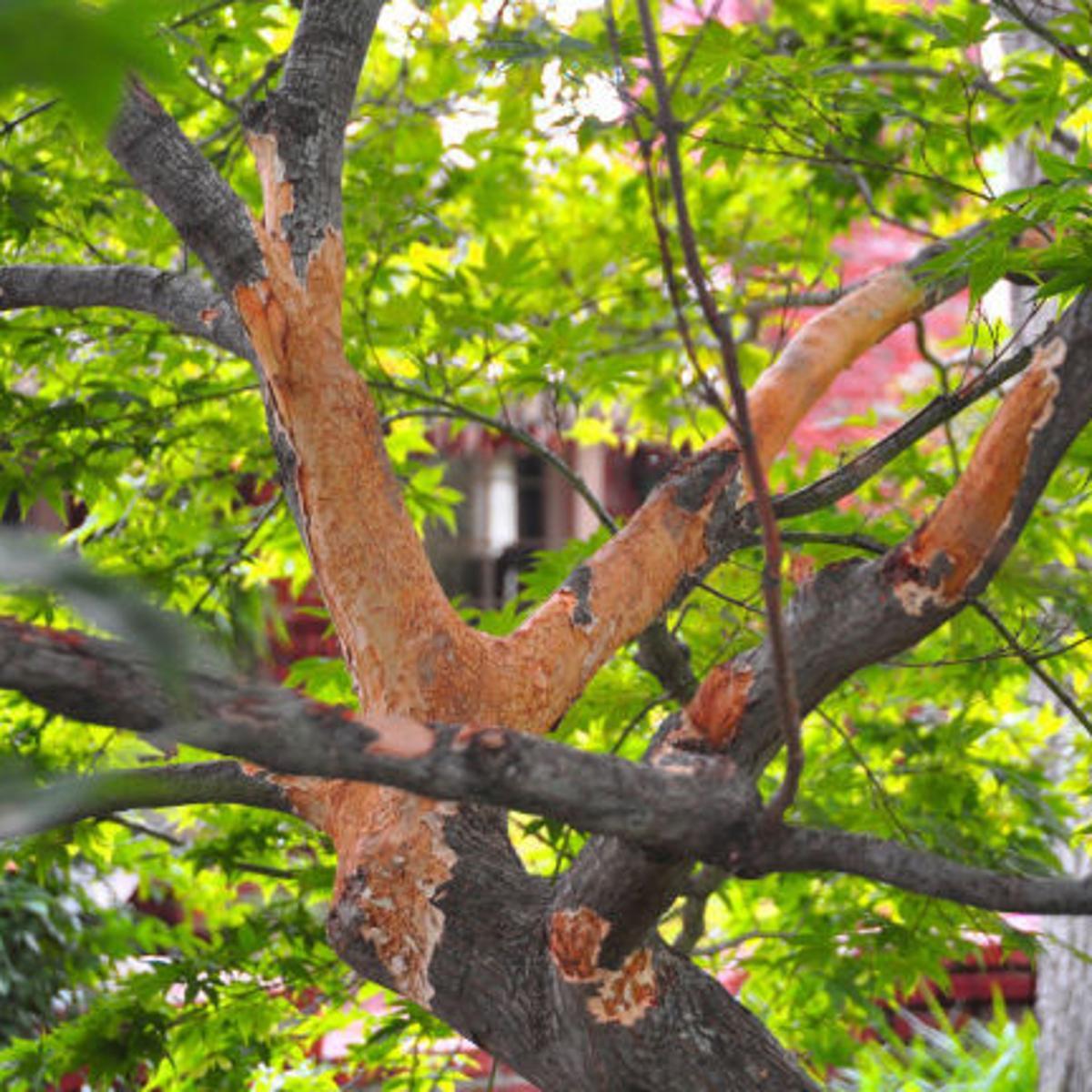 Japanese Maple Bark Issue Acer Palmatum Green 419630 Ask Extension