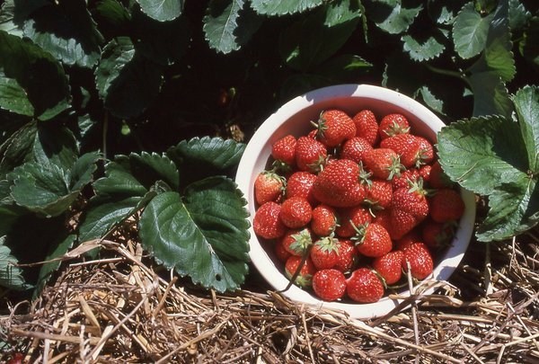 Strawberry fields perfect for city