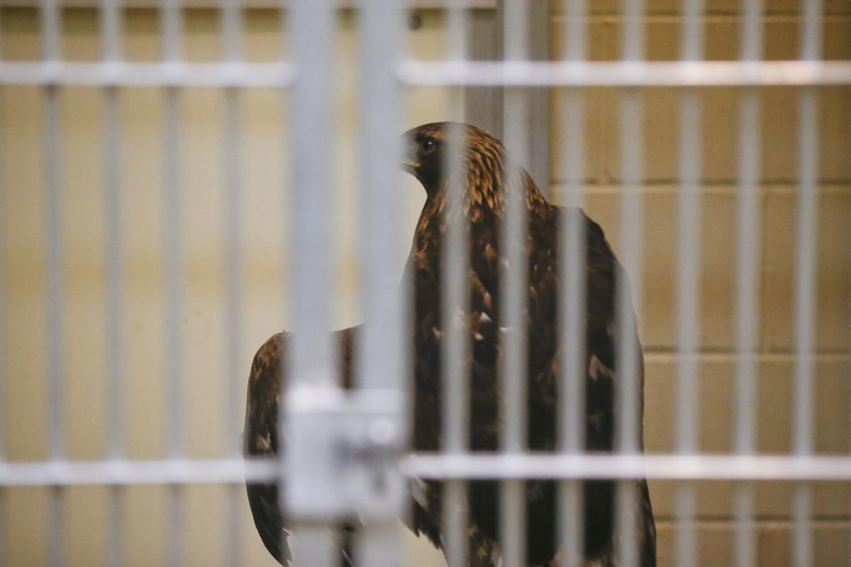 Suspect injury: Tulsa Zoo takes in bald eagle with hole in wing ...