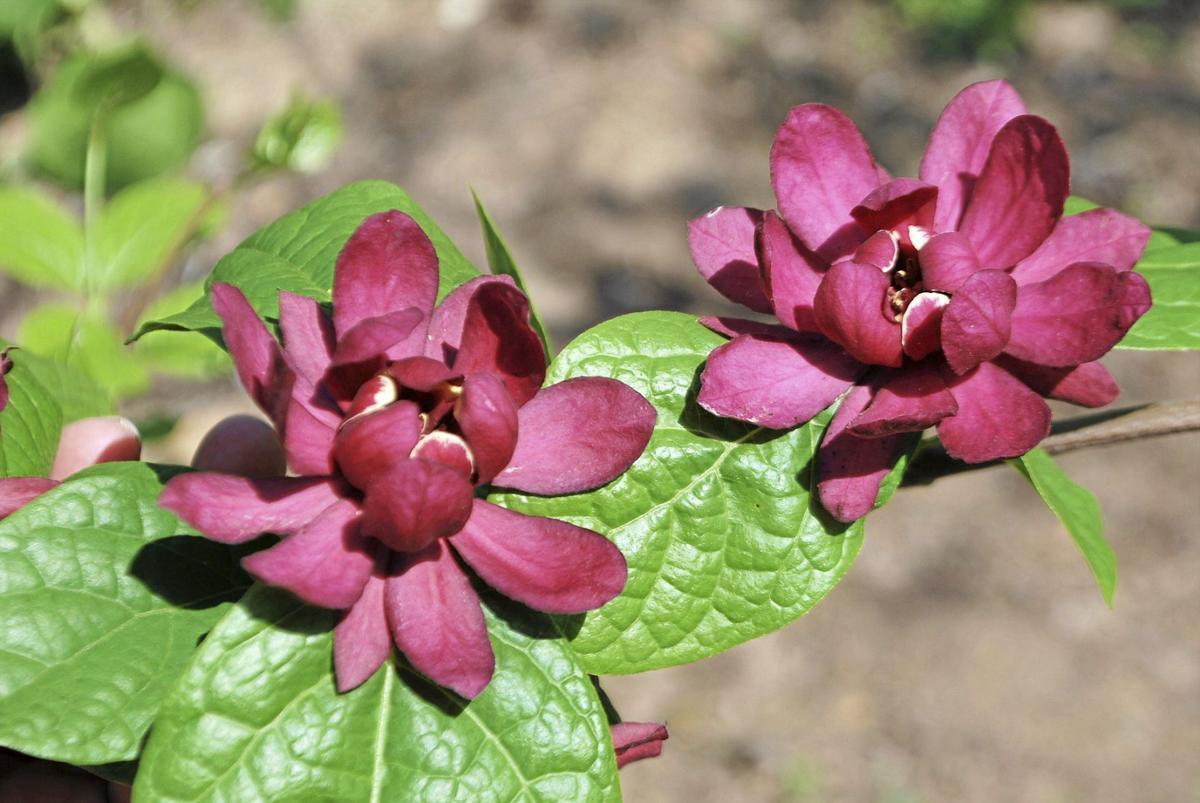 Barry Fugatt Consider Fragrant Flowers For Spring Gardens Home