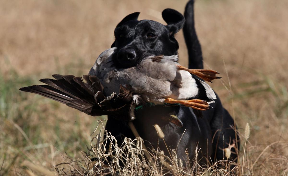 Kelly Bostian: Training gives top retrievers focus for