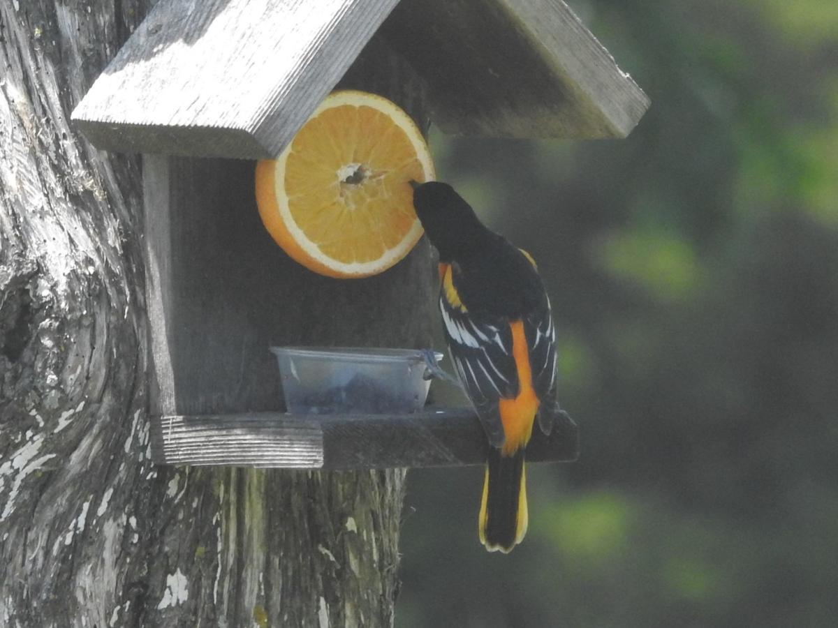 Baltimore Oriole Eating Orange (001a).JPG