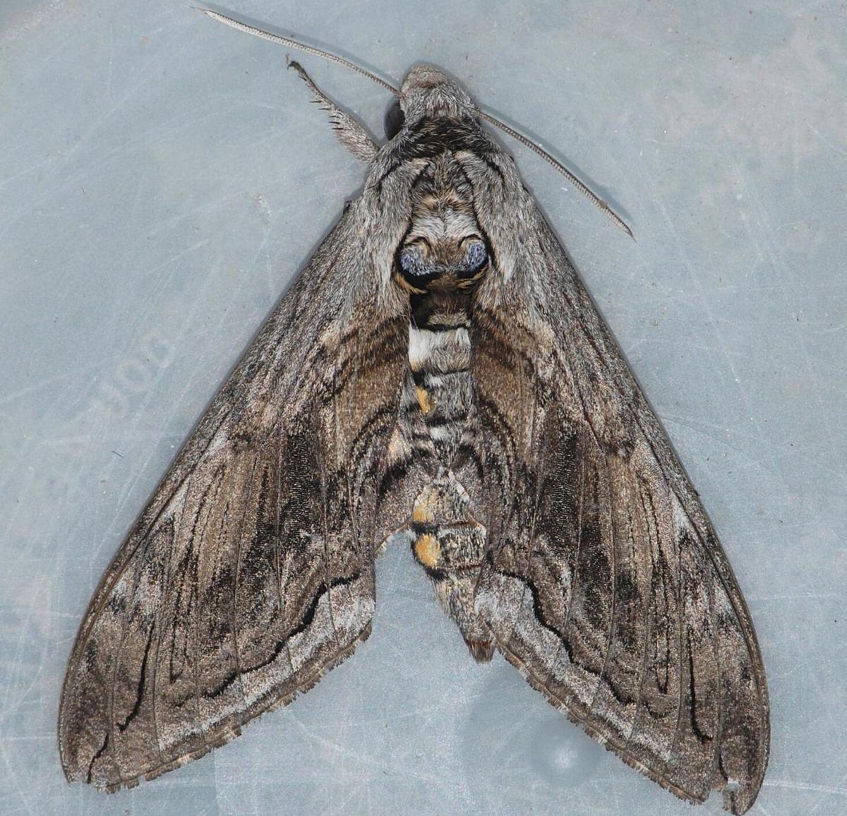 checkerspot moth