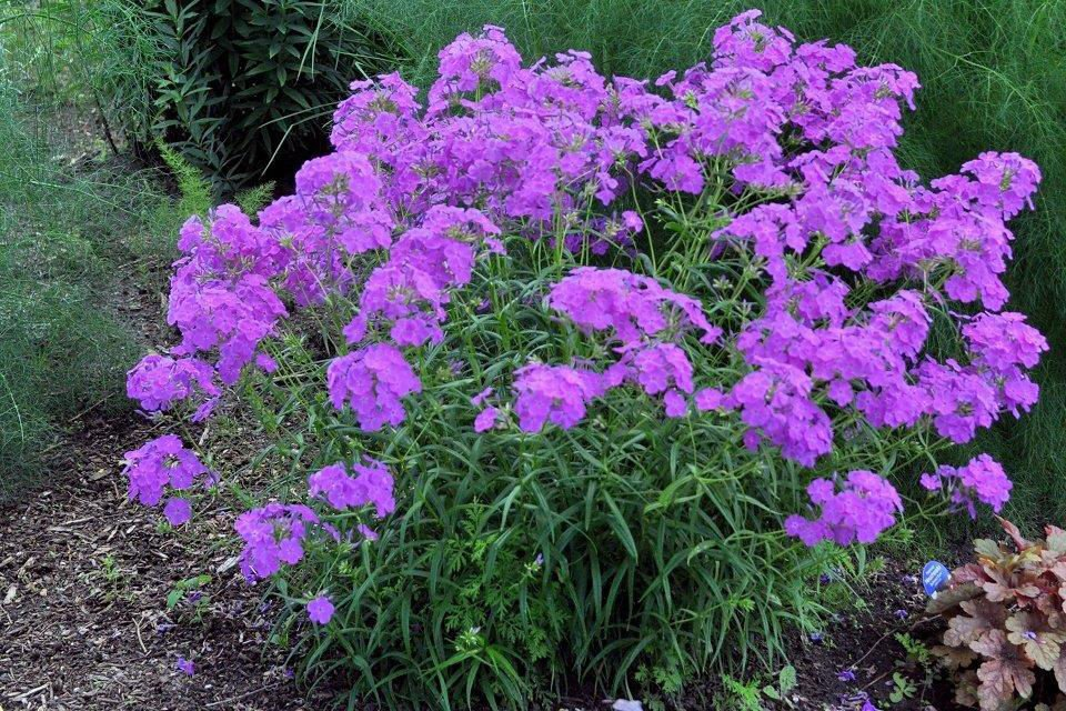 phlox x wanda is a new tall garden phlox variety that explodes with eye popping flowers in early spring and continues well into fall - Tall Garden Phlox