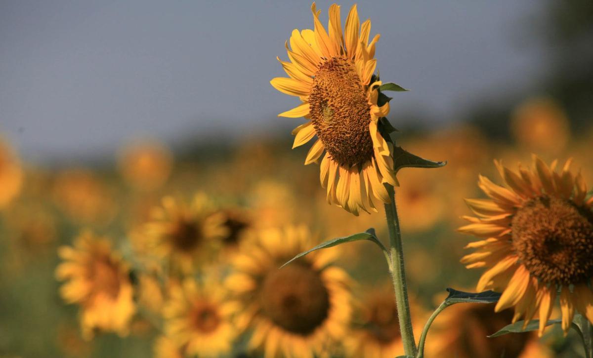 dove hunting sunflowers