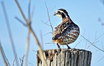 Outdoors: Spring rainfall raises hopes for quail population growth
