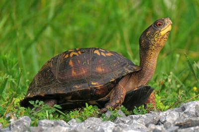 Collinsville man charged with mailing protected turtle