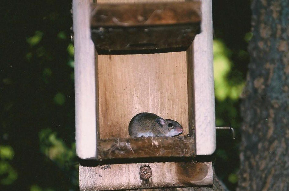 White-footed Mouse in Bird Box (b).jpg