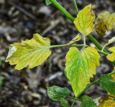 Spider Mites Infest Tomato Plants
