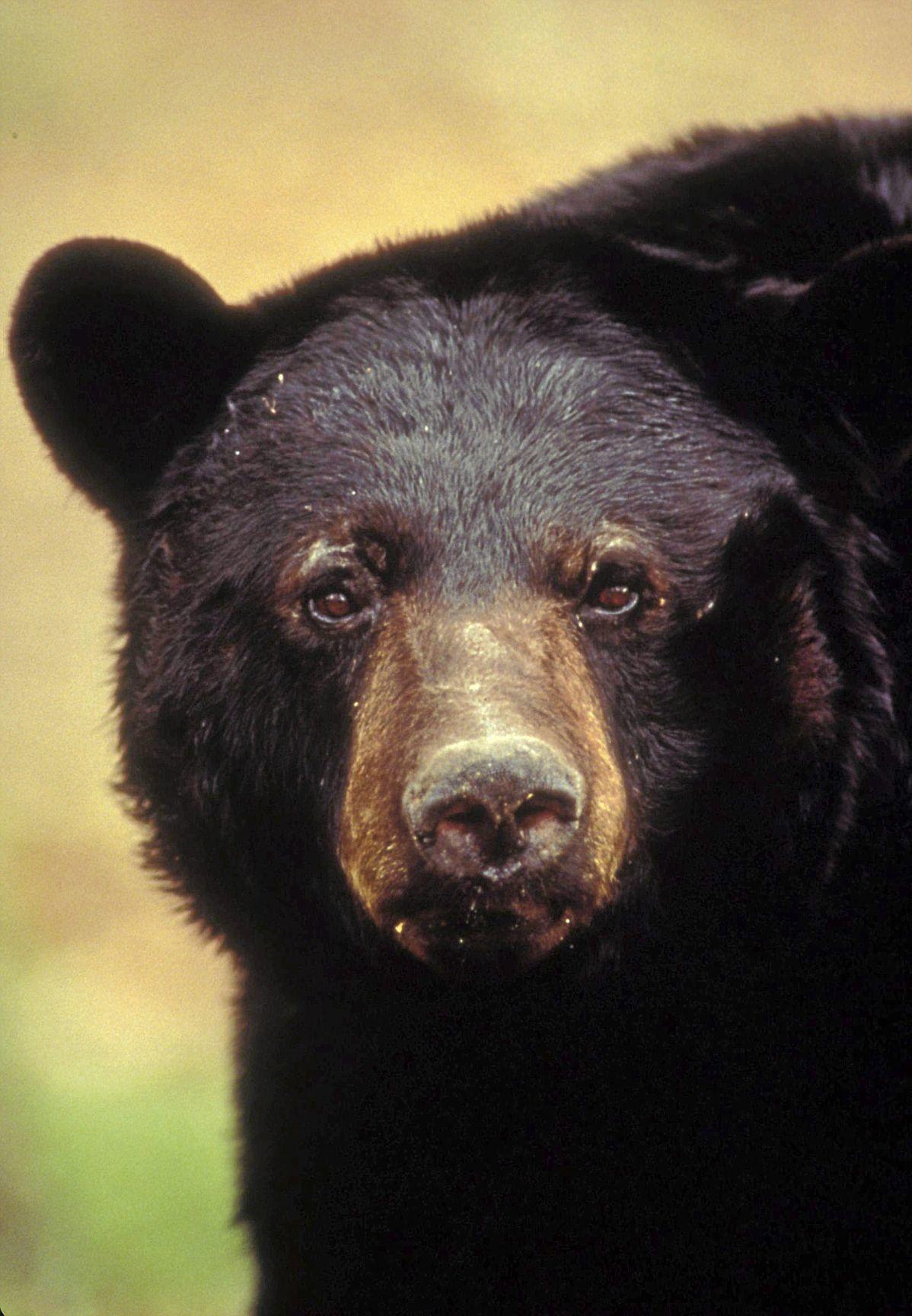 black bears (copy) (copy)