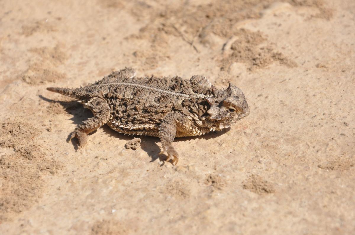 Texas Horned Lizard (002).JPG