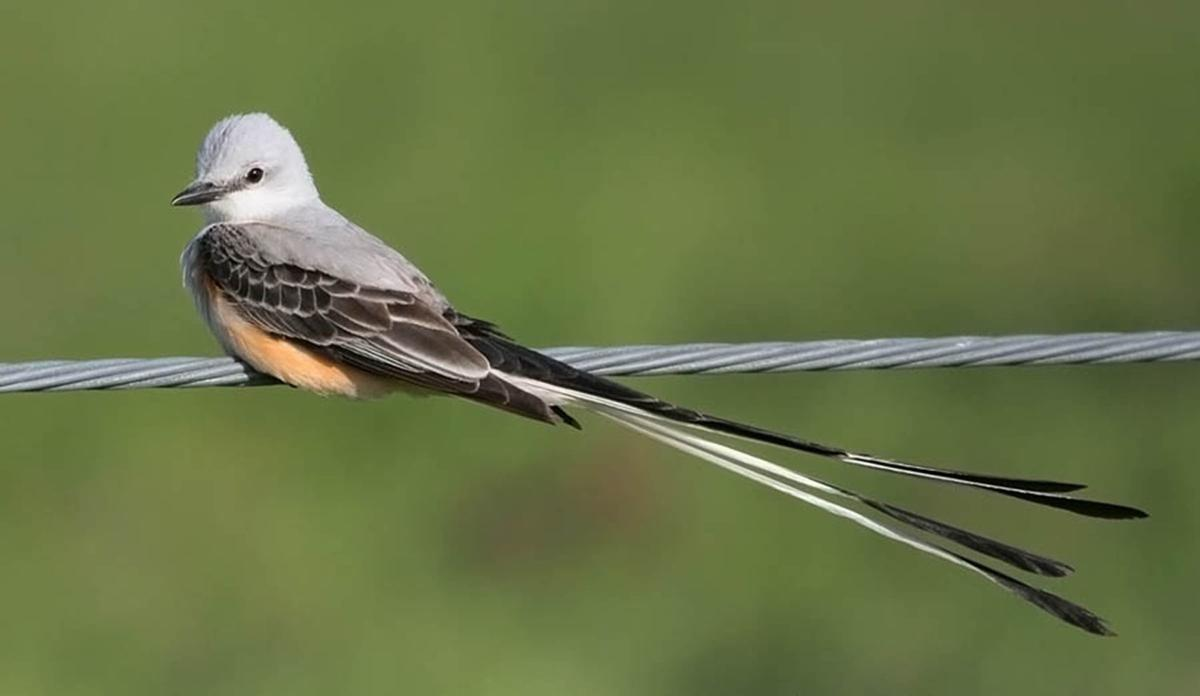 birds lost scissor-tailed flycatcher