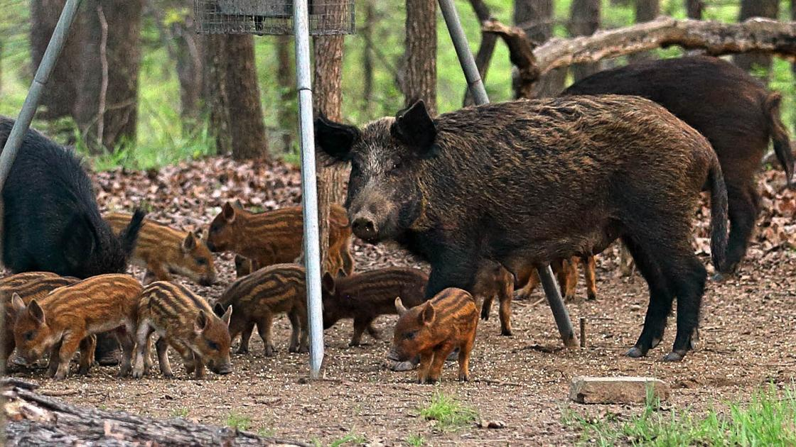 A messy dilemma: Feral hogs make their way into Tulsa city limits