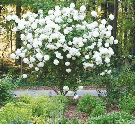 China Native Snowball Viburnum Is A Popular Old Us Garden