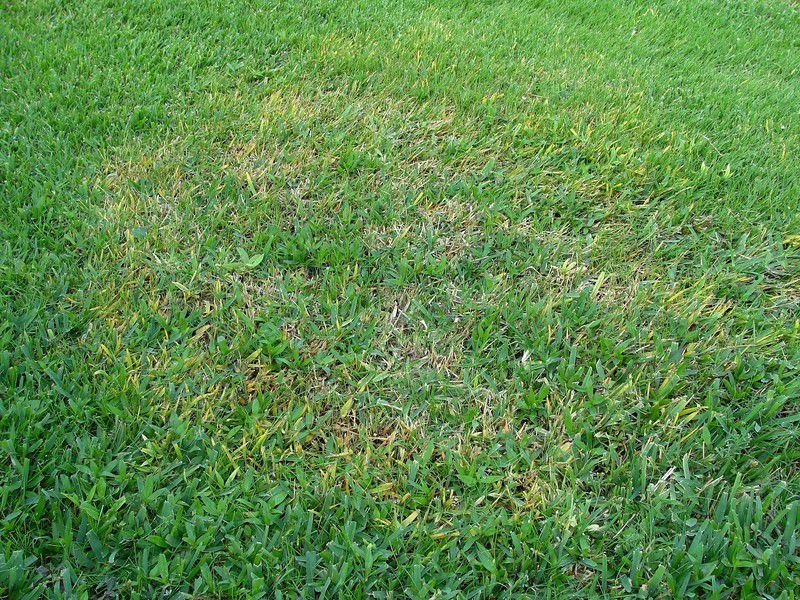 The best way to fight brown patch in St  Augustine grass is