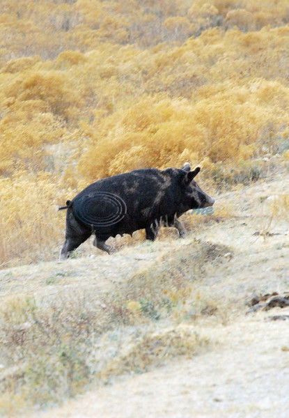 This Little Piggy: Deer Hunter Need To Cut Wild Pigs Off From The Trough