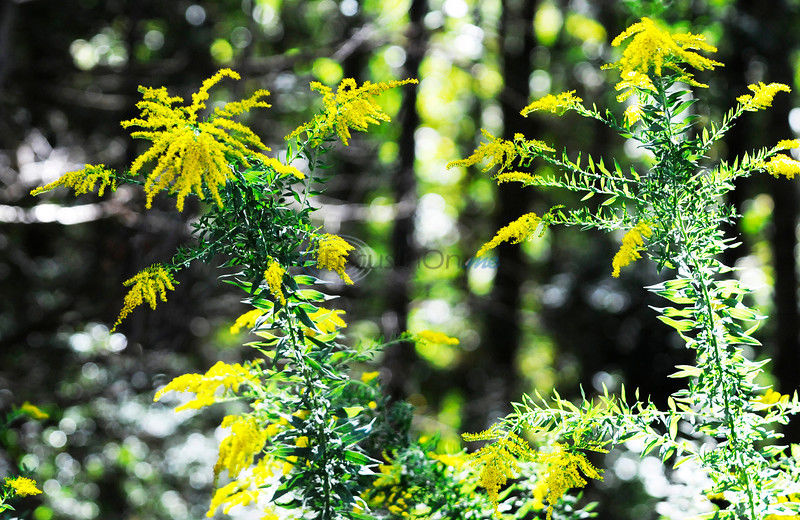 Ragweed pollen levels 'becoming elevated'
