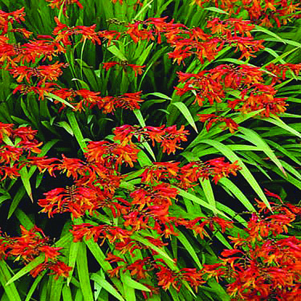Crocosmia can range from yellow to orange to bright red, and display nicely