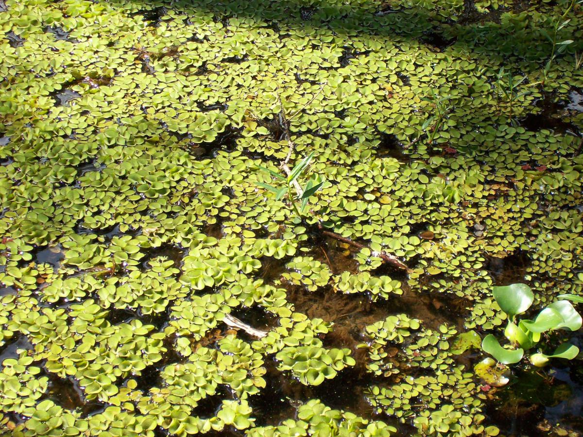Giant salvinia a problem on Texas lakes