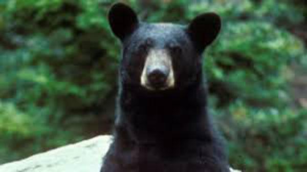Black bear breaks into Idaho kitchen