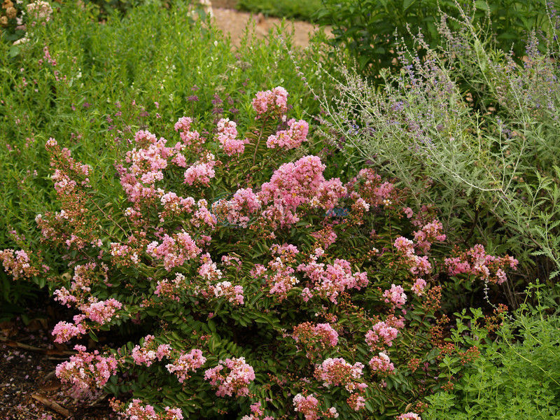 Crapemyrtles will give you long-lasting super color in summer