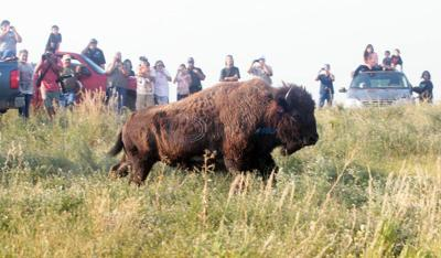 34 bison transferred from Yellowstone to Indian Reservation