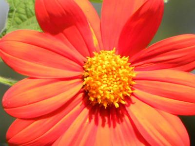 Mexican sunflower brings color, fun to your garden
