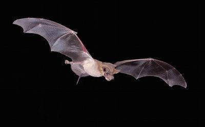 Texas receives funding to combat white-nose syndrome in bats
