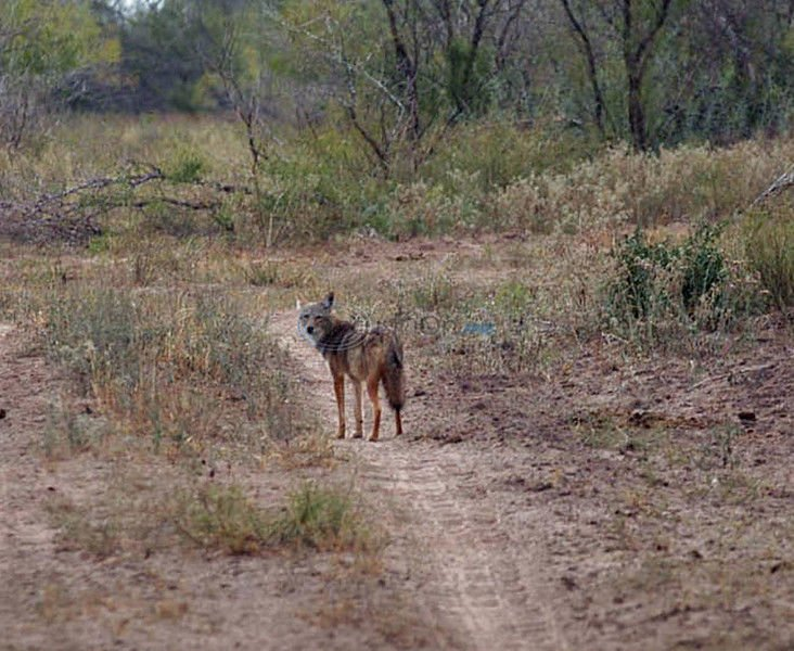 Coyotes can be both good and bad for Texas wildlife