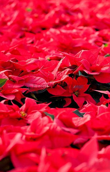 Poinsettia practitioners brace for East Texas Christmas season