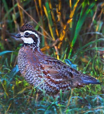 Oklahoma quail numbers way up